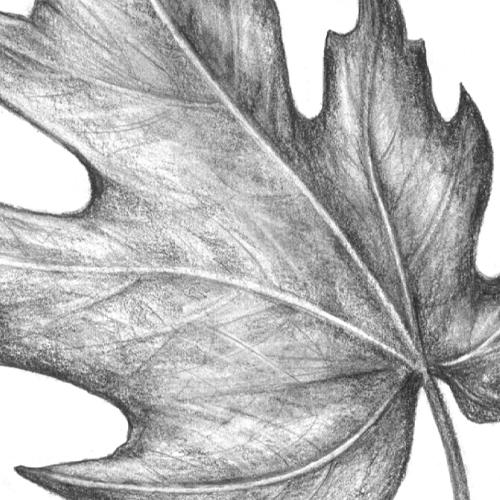 Comment dessiner une feuille d'érable?