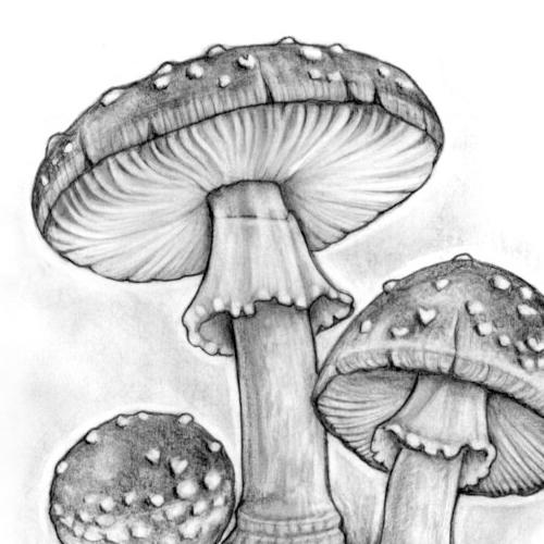 image capsule la champignon